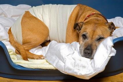 Perro intervenido por torsión gástrica