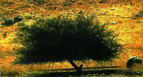 Begini Rupa Pohon Ghorqod
