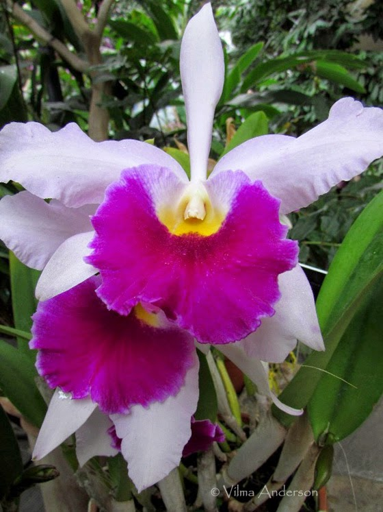 Orchid flower - white and hot pink