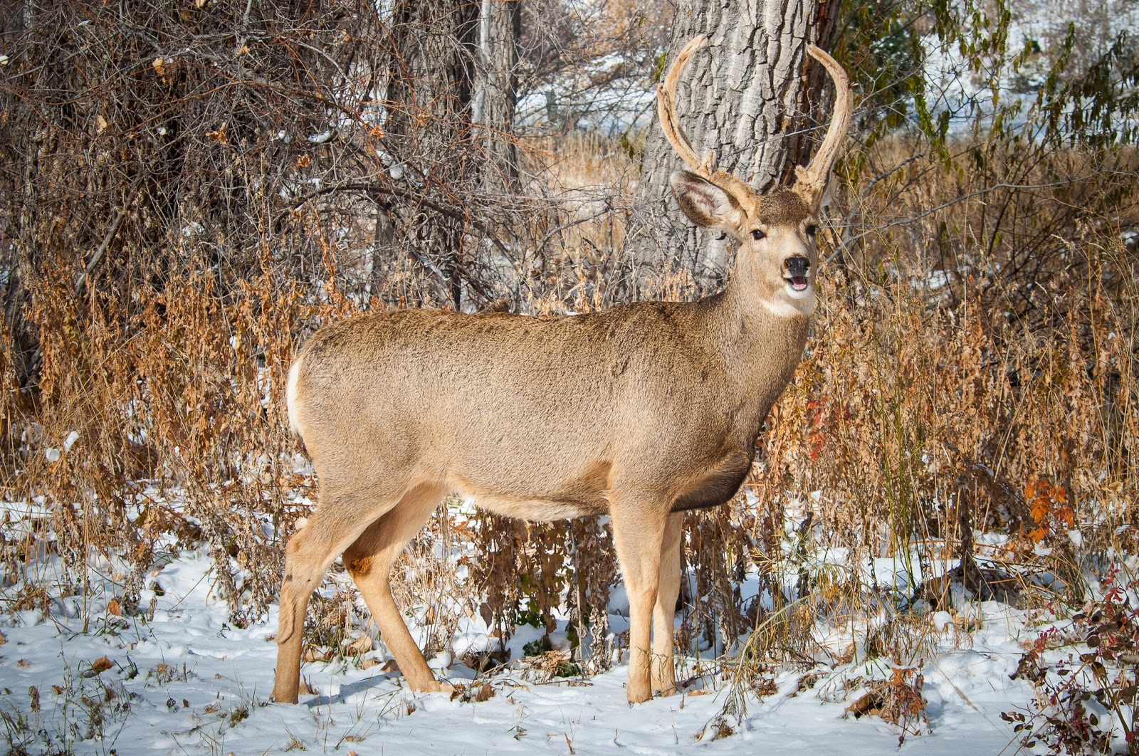 Mule Deer, Waterton Canyon