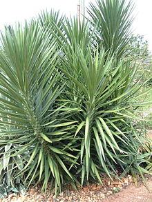 Vanderlei paisagista plantas e vasos para interiores - Yucca elephantipes cuidados ...