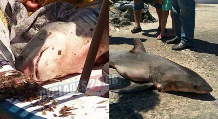 Λευκός καρχαρίας πιάστηκε στη Σύρο!