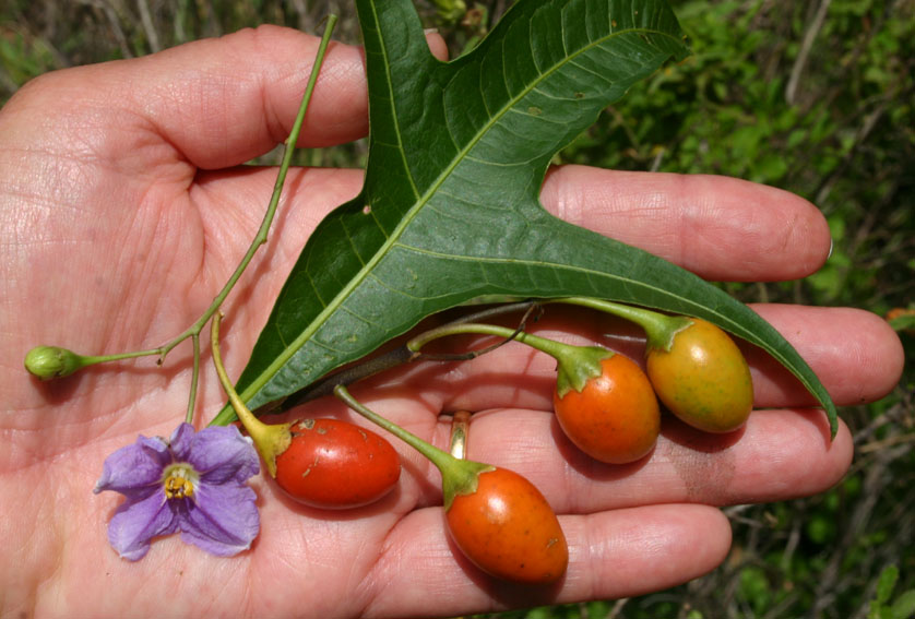 Toowoomba Plants: Kangaroo Apple