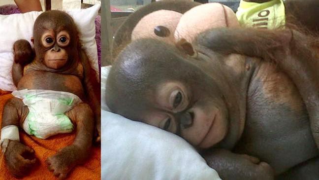Budi Bayi Orangutan Sedang Dirawat Setelah Menghabiskan Tahun Pertamanya di Kandang Ayam