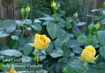 Annieinaustin, Ramona clematis and Julia Child rose