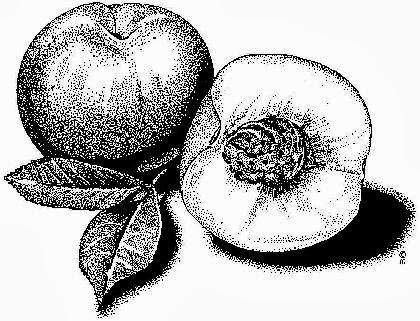 Resim Foto Albümü Karakalem Yiyecek Meyve
