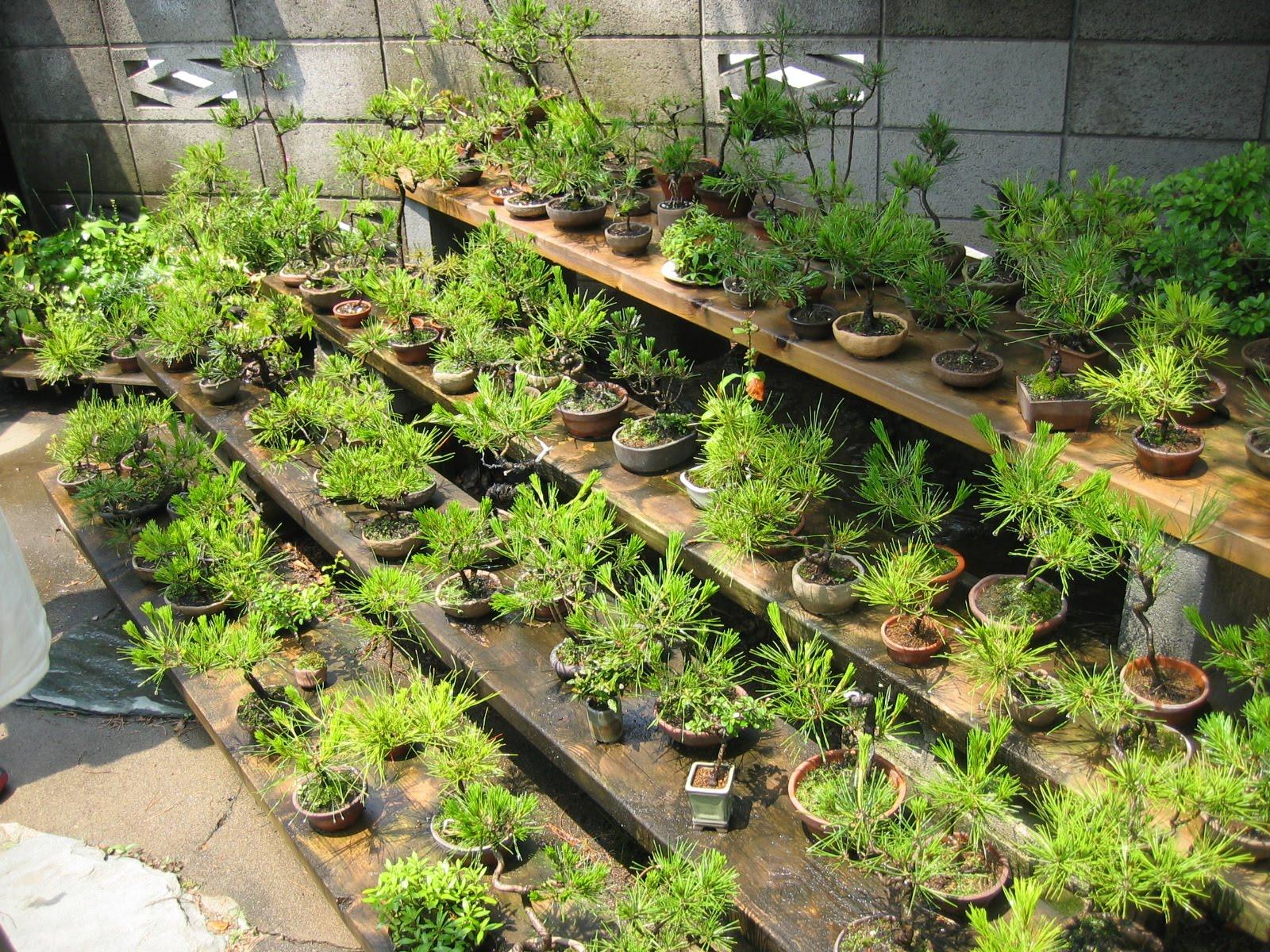 Matsu bonsai jardin de ma tre keizo ando for Bonsai de jardin