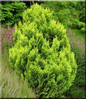 Arte y jardiner a chamaecyparis lawsoniana y sus variedades for Tipos de pinos para jardin fotos