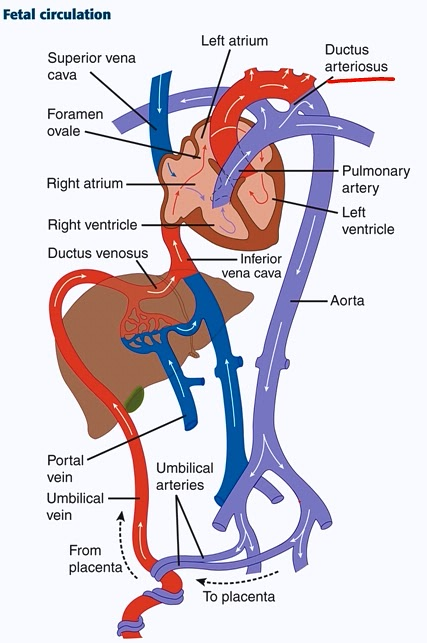 5 Parts Of A Root additionally Fetal Heart Circulation Chart also Immune System Diagram Labeled additionally In e distribution   united states in addition Bacterial Cell Structure Diagram. on of blood cell diagram free image about wiring