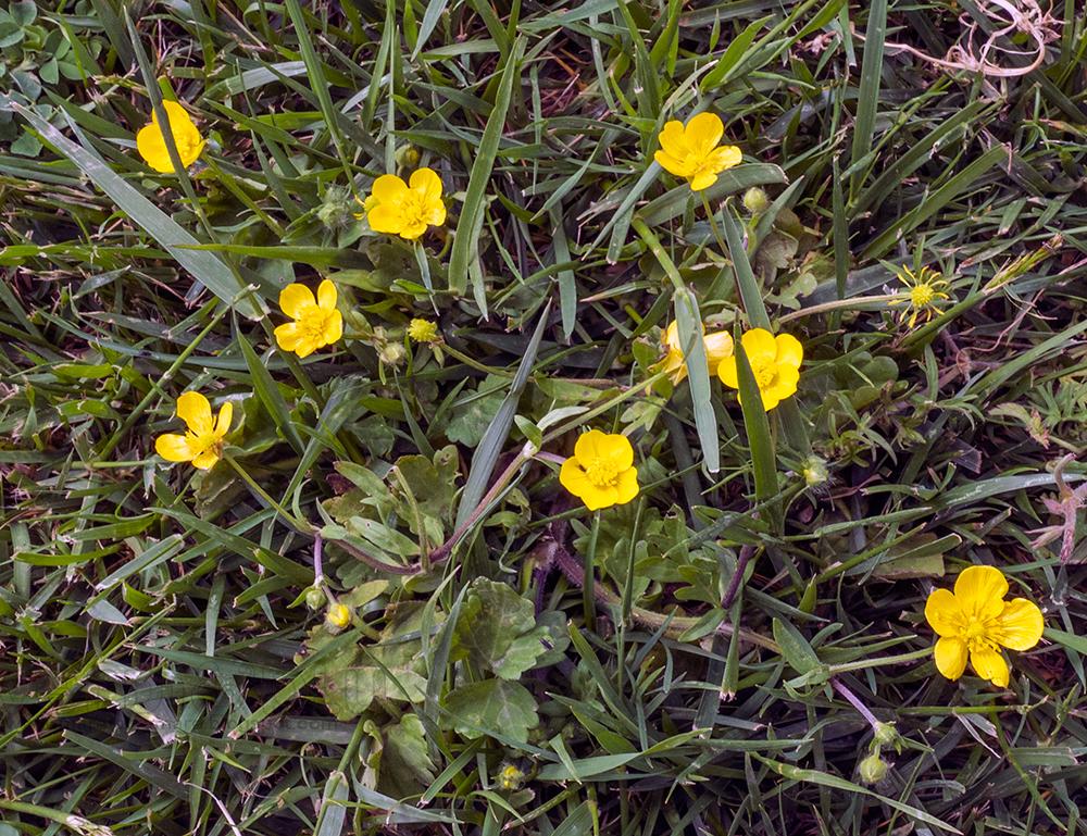 Ranuncolo botton d'oro - Ranunculus auricomus