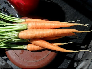 10 июля, первые корнеплоды морковки