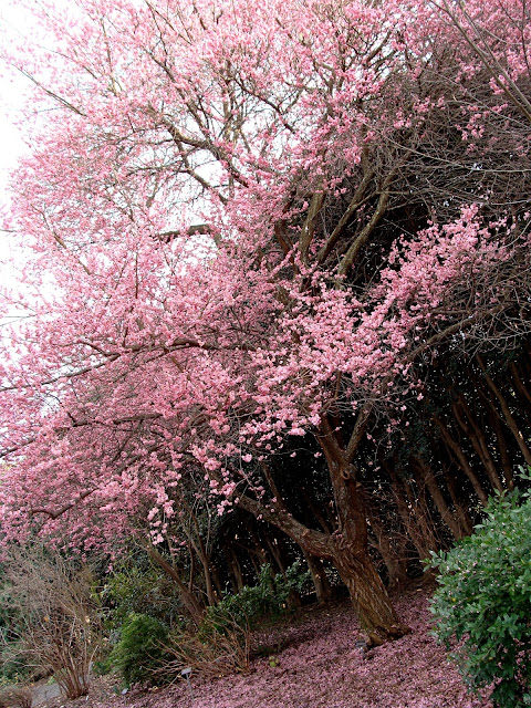 beautiful full bloom of cherry tree with pink petals all on the ground and branches