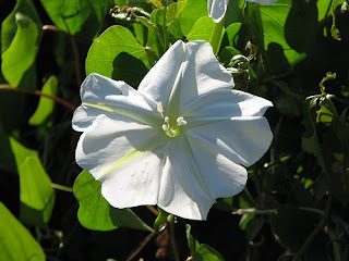 Beautiful Ipomoea Alba Flower