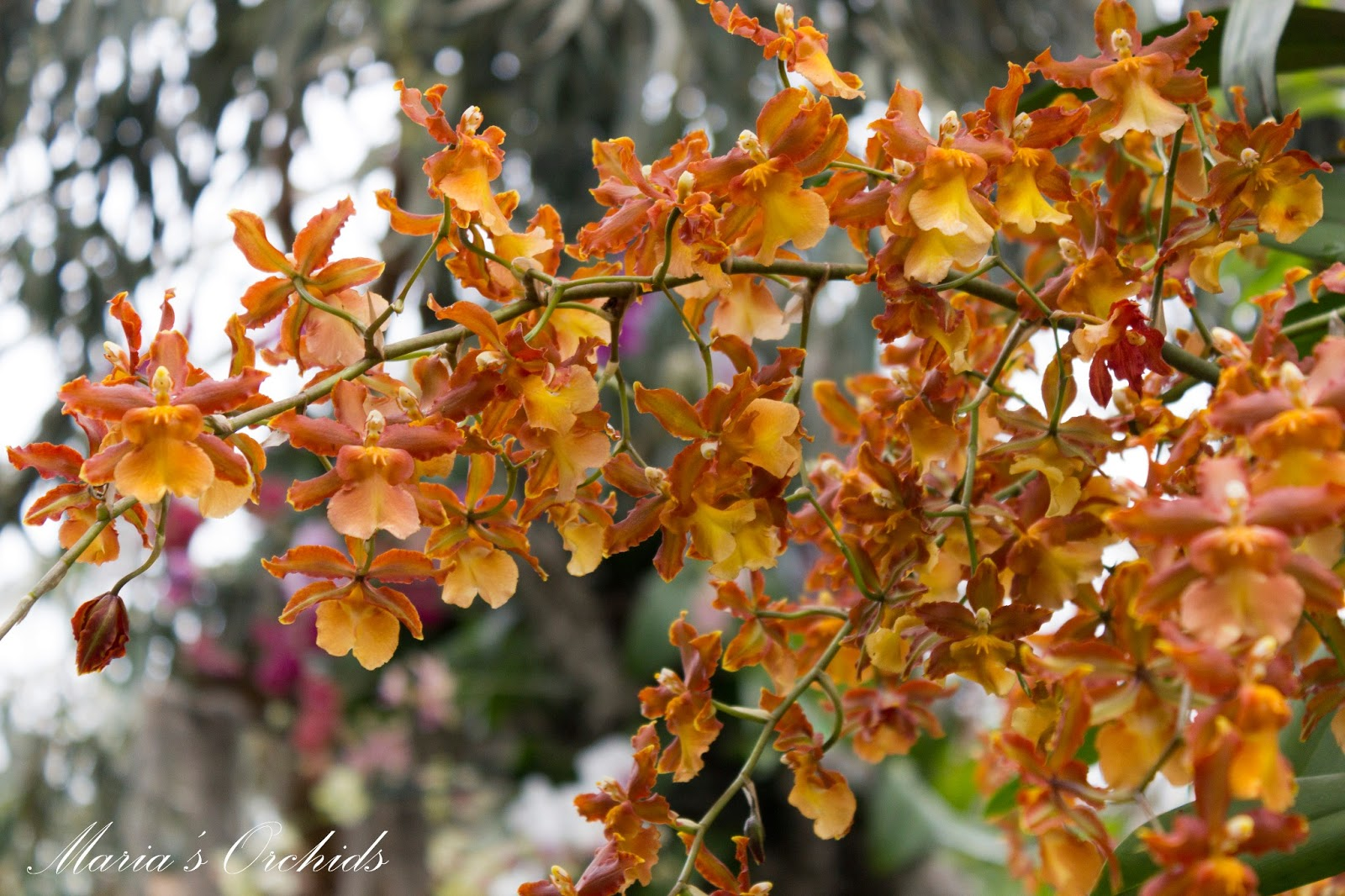 maria u0026 39 s orchids  new york orchid show 2013  oncidiums
