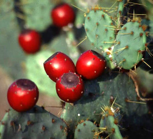 Nopal cactus is located in the desert.