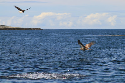 Eagles Feasting on a Bait Ball Near Alexander Island