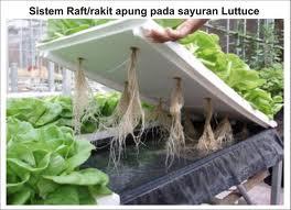 hidroponik sayuran