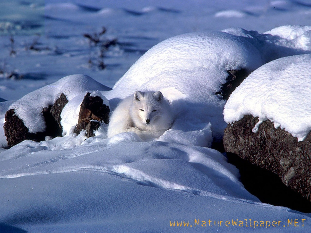 http://2.bp.blogspot.com/-WYIhRoY9JN0/Tv8p4tcqFFI/AAAAAAAACFA/iosExgmgSxc/s1600/Arctic-fox-animal-wallpaper.jpg