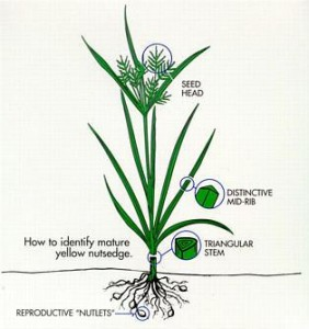 Nutsedge and Ornamental Sedges: What's the Difference? : Yard and ...