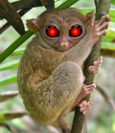 "Tarsier ""smallest Monkey"" Bohol, Philippines"