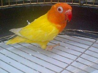 om hoby harga lovebird albino mata merah berdasarkan umur