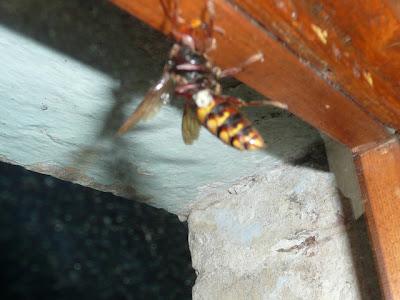 calabrone, vespa crabro, hornet