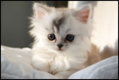Cute white kitten picture very cute puppy cute labrador puppies very