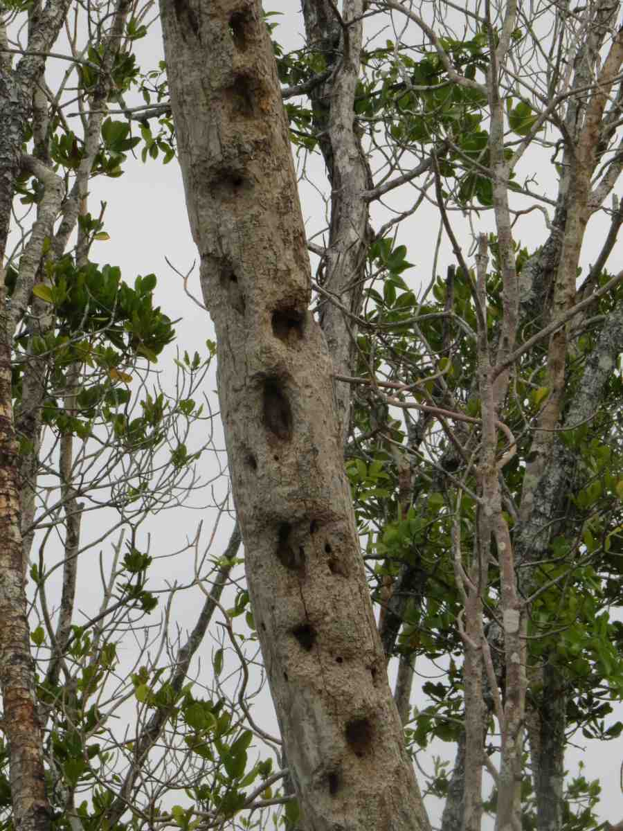 Striped possum damage