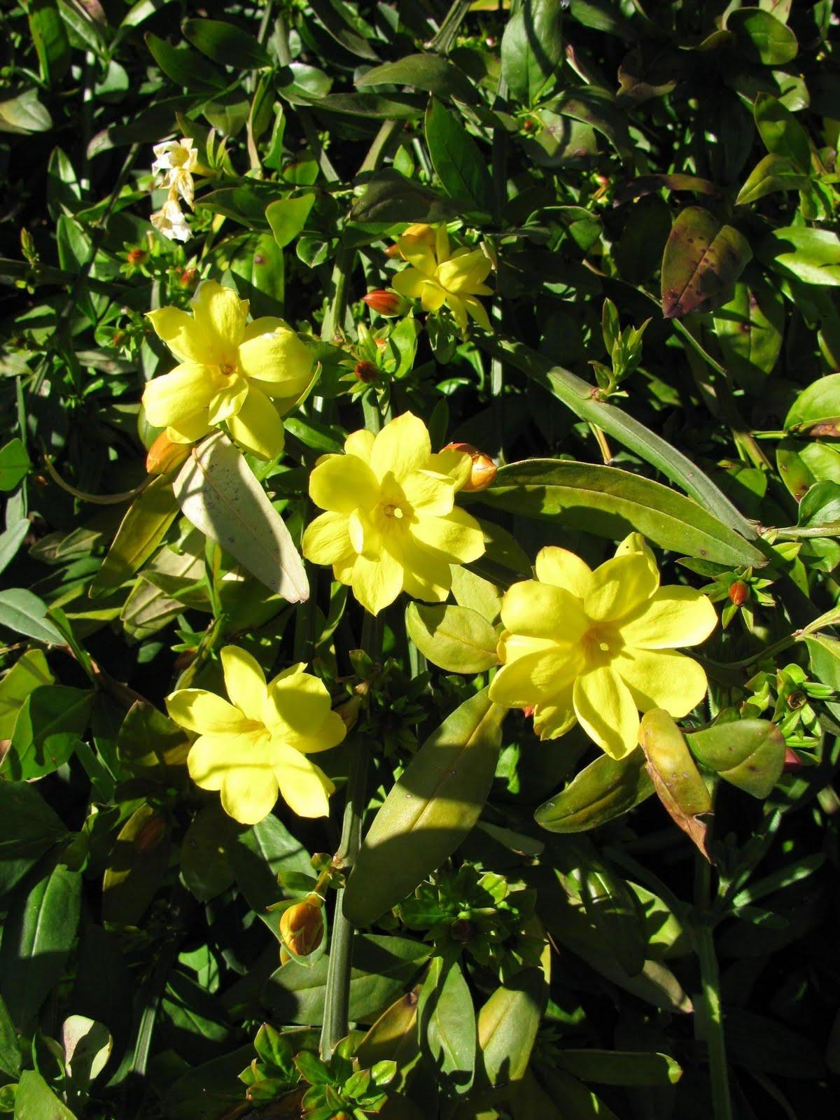 Arbres herbes et compagnie une coh rence cologique depuis 1999 p pini re - Jasmin d hiver blanc ...
