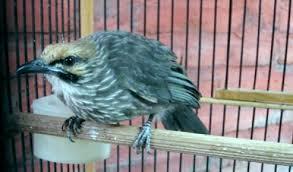 Burung Cucakrowo Info Penting Burung Cucakrowo Tentang Keunggulan Dan Kelemahan Burung Cucakrowo