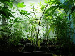 cultivo cannabis, etapa vegetativa, marihuana interior, cannabis indoor, cannabis