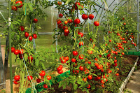 Organic Fertilizer for Tomato Plants