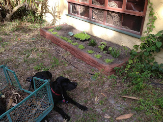 Coach is in the side yard by the green wagon.  He is looking at the planting bed that has new succulents in it.
