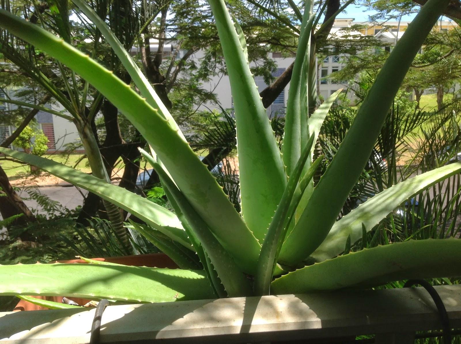 Aloe vera de la foret plante aloe vera - Plante aloe vera entretien arrosage ...