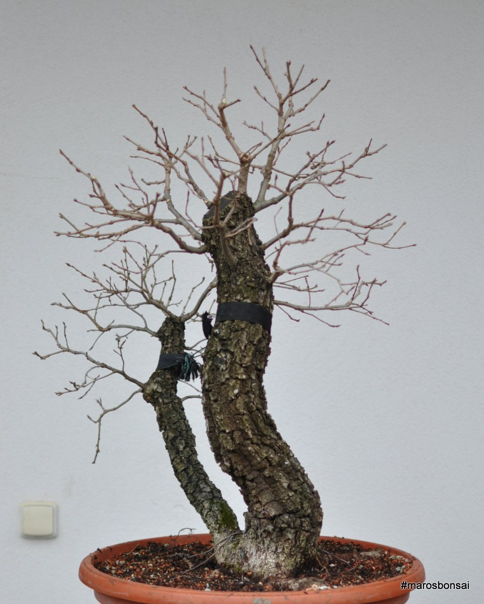 Maros Bonsai Blog Quercus Pubescens No7
