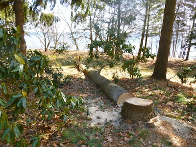 Tree trunk and stump of newly-felled pine points to Lake Ontario at BRG Port Credit.