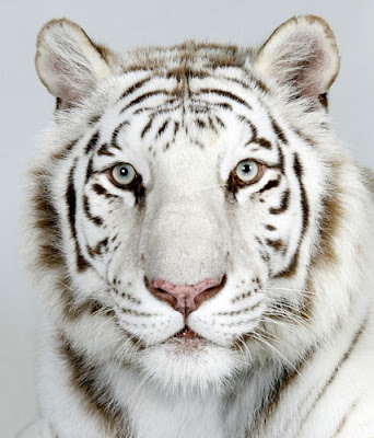 Royal Bengal White Tiger Picture