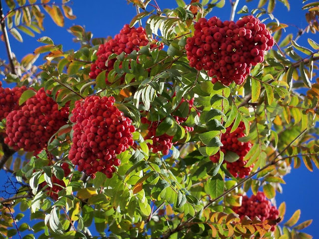 European Mountain Ash Berries in Ternopil, West Ukraine