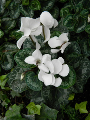 White cyclamen at the Allan Gardens Conservatory Christmas Flower Show 2015 by garden muses-not another Toronto gardening blog