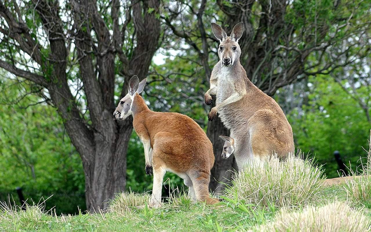 http://2.bp.blogspot.com/-W_nHtFv2knE/TVvAGmO_jwI/AAAAAAAAISI/sfXH4sZjPfg/s1600/kangaroos+wallpapers+%25285%2529.jpg