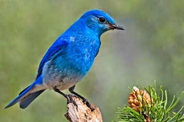 http://www.statesymbolsusa.org/Idaho/state_bird_ID.html