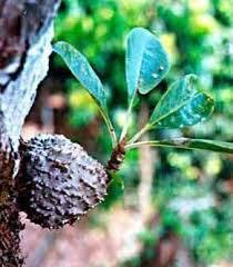 Pengobatan Kanker Payudara Herbal Sarang Semut