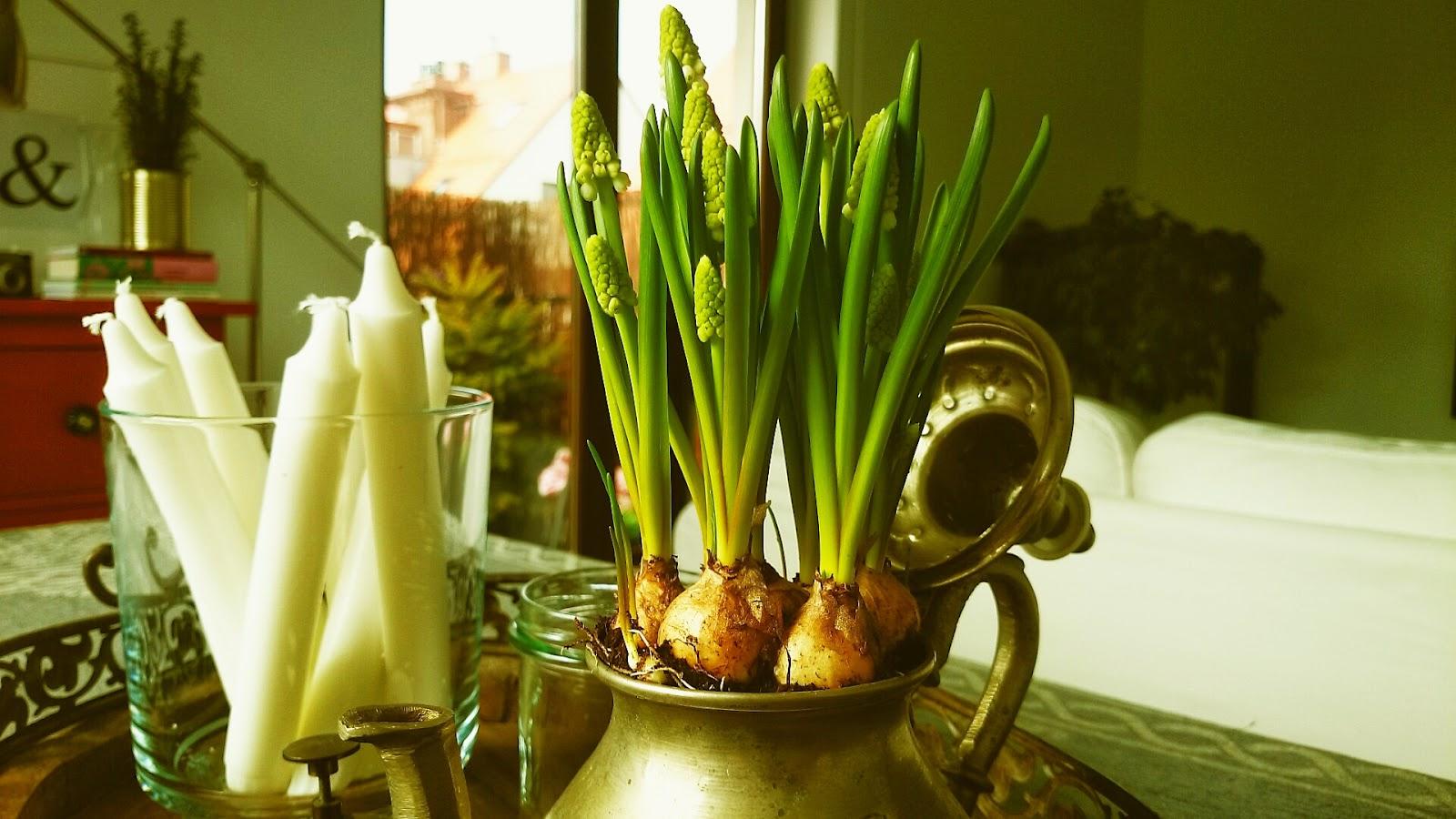 Szafirki w antycznym dzbanuszku, antyczny dzbanuszek jako osłonka na kwiaty, świece w szklanym naczyniu