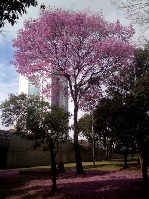 Ipê Roxo na Av. Tiradentes, próximo a estação Armêrnia do Metro.