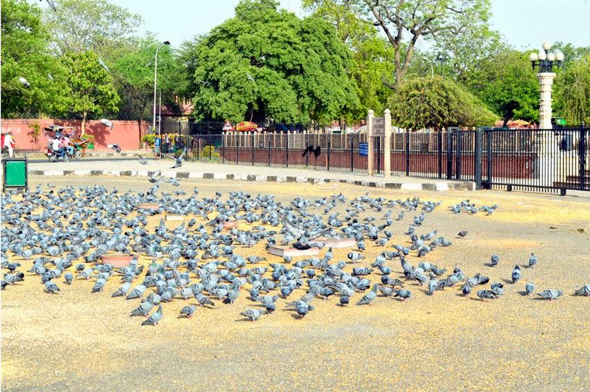 Birds devoured grain