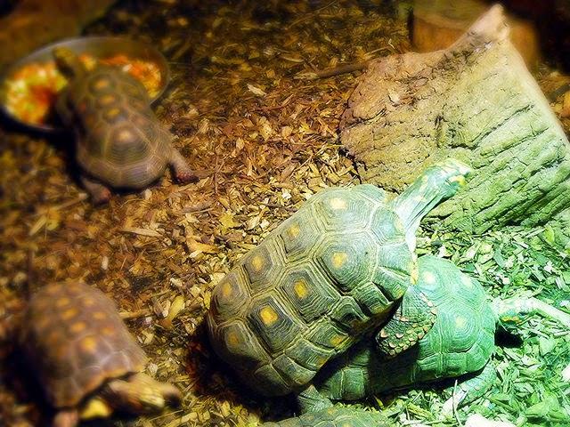 tortoise sex