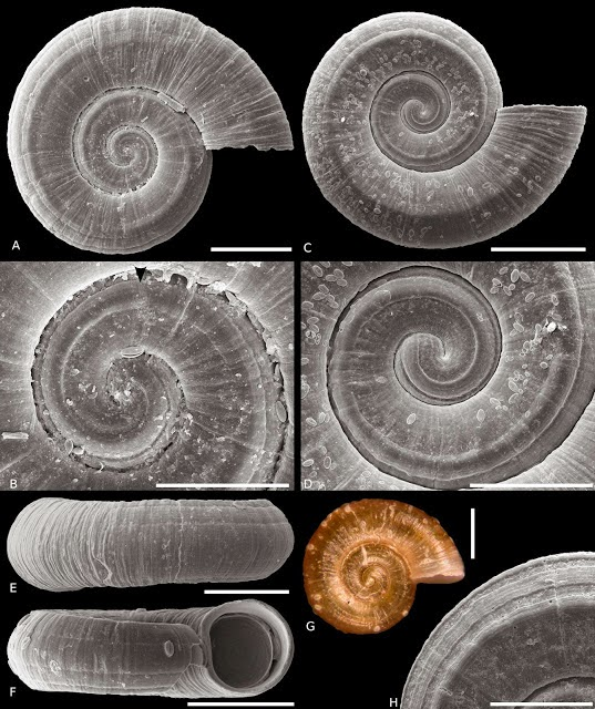 http://sciencythoughts.blogspot.co.uk/2014/11/three-new-species-of-omalogyrid-snails.html