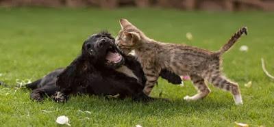 Foto-foto seekor anak kucing dan seekor anak anjing spaniel yang tumbuh bersama 02