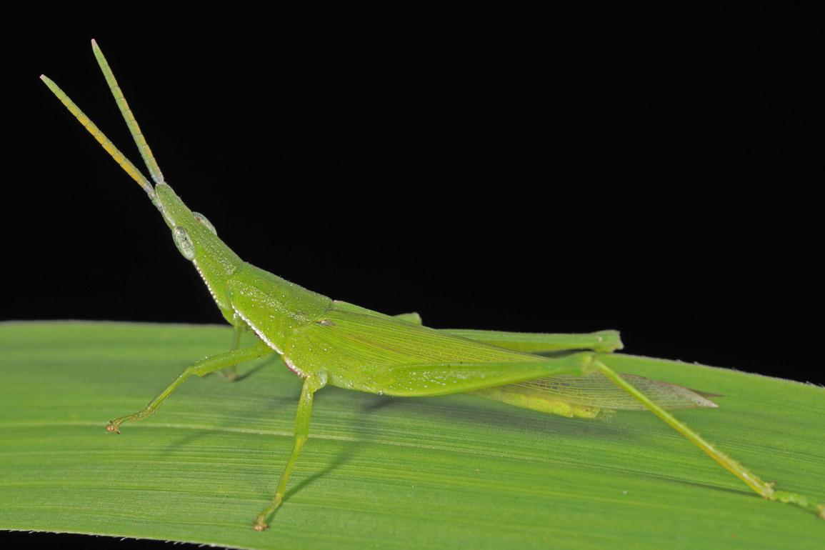 U.s. Grasshoppers BunyipCo: A Few Local ...
