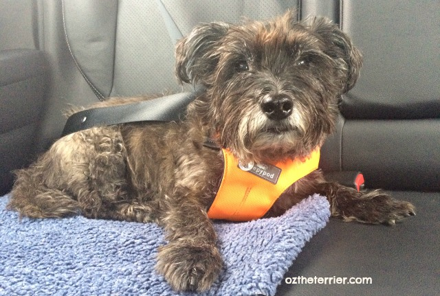 Oz the Terrier safely buckled in Mitsubishi Outlander Sport with Sleepypod Clickit dog safety harness